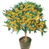 桂花树苗盆栽 庭院/室内花卉 四季桂嫁接 浓香型盆景