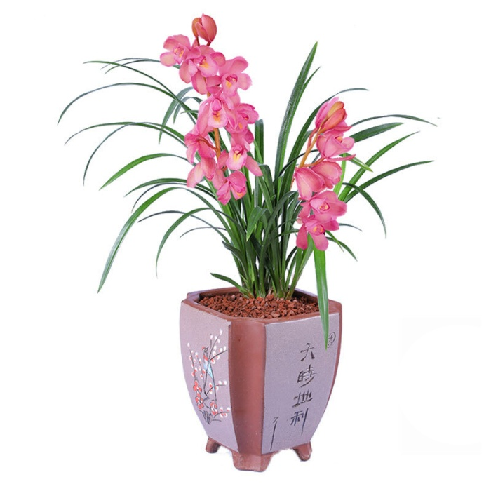 室内花卉绿植 兰花 香妃 矮种墨兰兰花