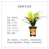办公室内盆栽 黄金美人 浓幽香型 建兰四季兰